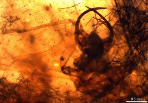 Image 2 Hallucinochrysa diogenesi