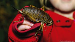 New Zealand giant weta, copyright Sabine Bernert